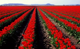 8589130505677-nature-flowers-fields-spring-tulips-red-flowers-best-wallpaper-hd