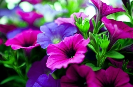 PinkPurple Flowers
